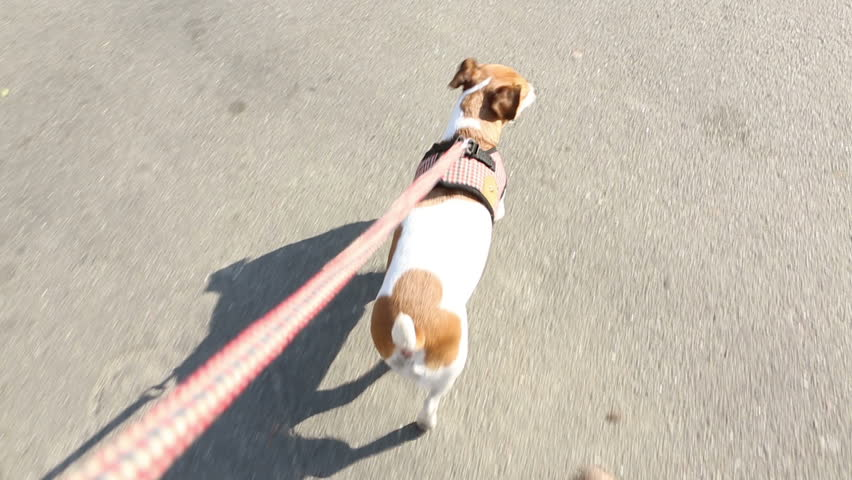 Sweet dog is on a leash. View from the master's hand. Video footage #7718395