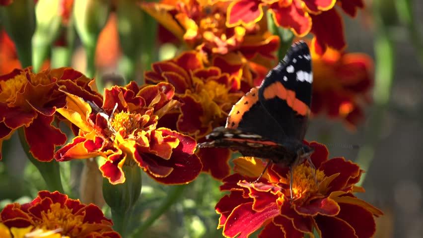 4k Beautiful Erfly On Chrysanthemum Flower In Field Gathering Pollen Garden Macro