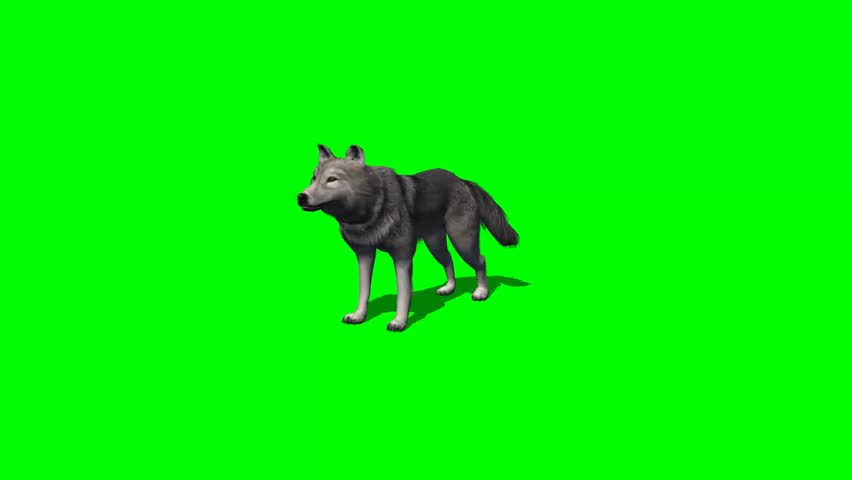 wolf howl - 3 different views - with shadow - green screen