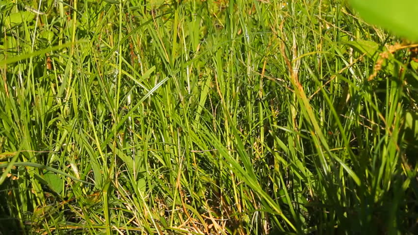 cogon grass pesticide The japanese bloodgrass – cogongrass connection (or red baron grass) is a variety of cogongrass all recommendations for pesticide use are for south.