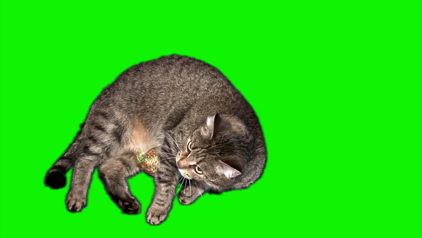 Female grey striped cat with the ball toy in the legs swinging and washing on green screen