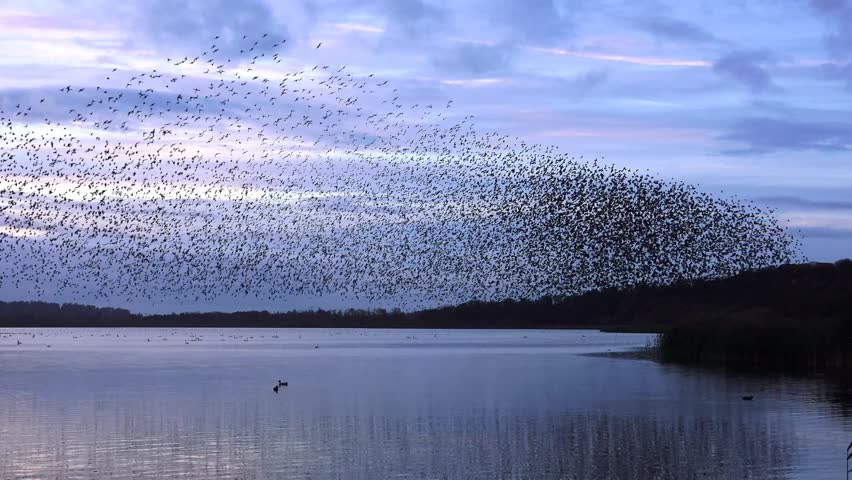 Starlings flock together on lake at sunset nature background - Aqualate Mere, Staffordshire, England: November 2014 -  02666698  | Shutterstock HD Video #7803652