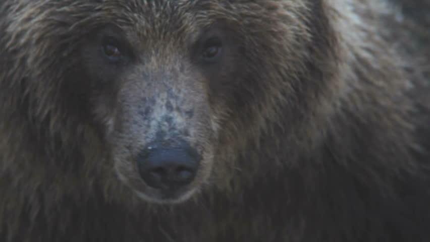 Portrait of a bear.