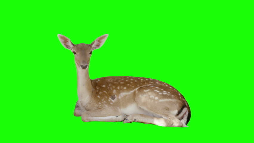 Deer sitting on green screen. Shot with red camera ready to be keyed.