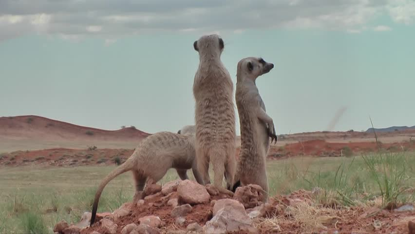 group of suricates with babies on outlook, nervous looking around #7915102