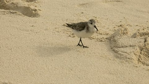 Closeup of a puffy bird with skinny stick legs running across the sandy beach. The brown/white feathered wings moving slightly.