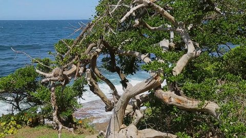 A windblown tea tree bush on a cliff face on the Australian coast.