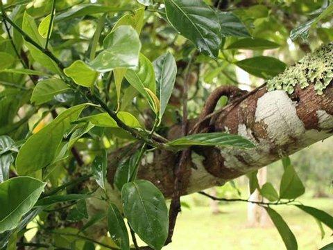 Soursop or Guanabana (Annona muricata) : pan shot