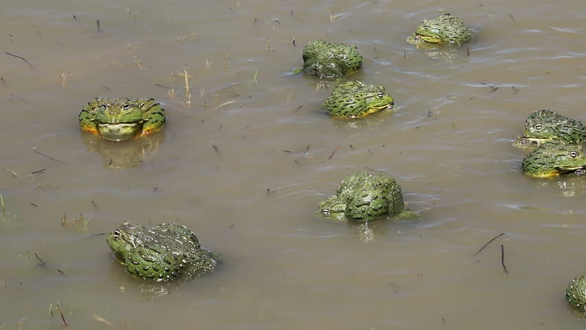 African giant bullfrogs (Pyxicephalus adspersus) mating and fighting in shallow water, South Africa