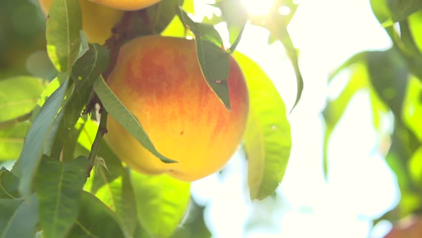 Ripe organic Peach hanging on a branch in orchard. Peach fruit. Sun light. Sun flare. Slow motion video footage 240 fps. 1920x1080. High speed camera shot. Full HD 1080