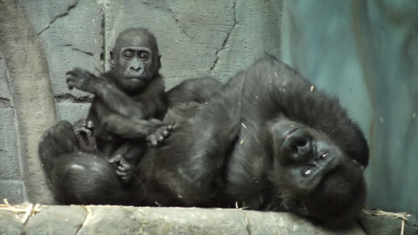 Gorilla baby, sitting on his mother, which likes kissing his doodle. A kid, that is going to be great ape, the most dangerous and biggest monkey of the world. Beauty of the wildlife in the HD footage.