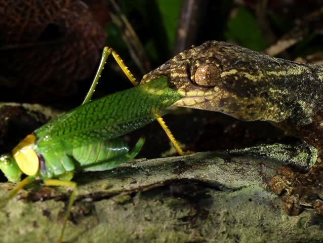 Turnip tailed gecko (Thecadactylus solimoensis), Eating a katydid. PAL ASPECT RATIO