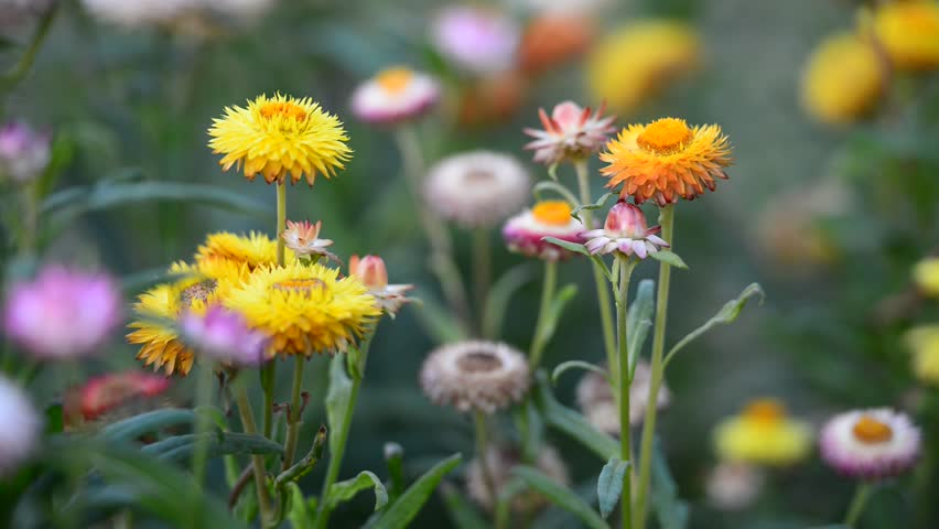 Header of helichrysum