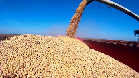 Pouring soybeans in a tractor trailer,Harvested soybean, Video clip