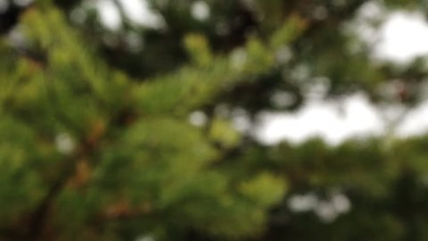 Virginia Pine Needles