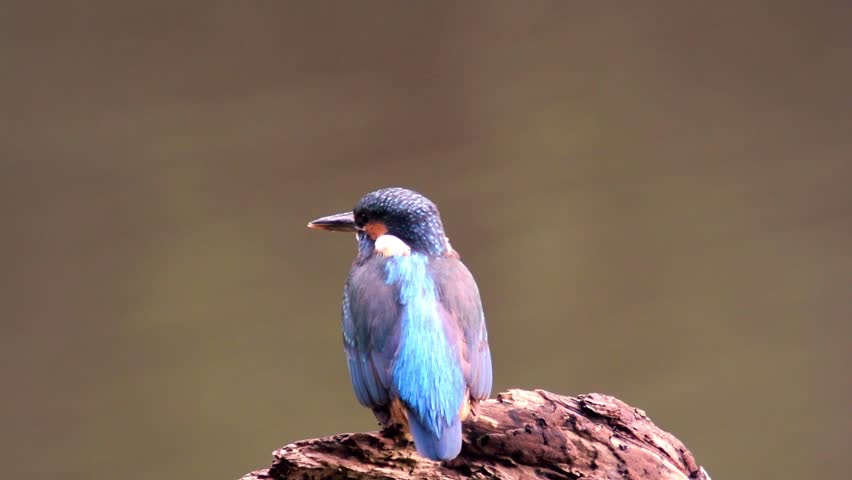 Common Kingfishers (Alcedo atthis), also known as the Eurasian Kingfisher or River Kingfisher sitting on a branch and looking around. | Shutterstock HD Video #8388892