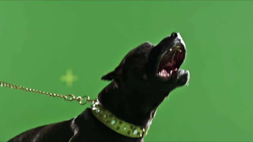 Real black pit bull dog barking green screen chroma key Slow Motion