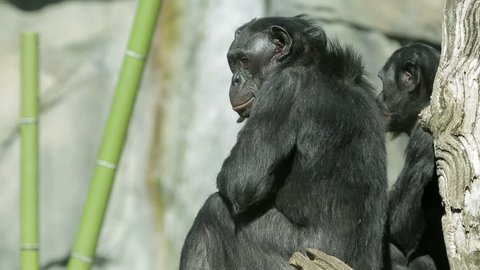 Bonobo chimpanzee apes sitting outside.
