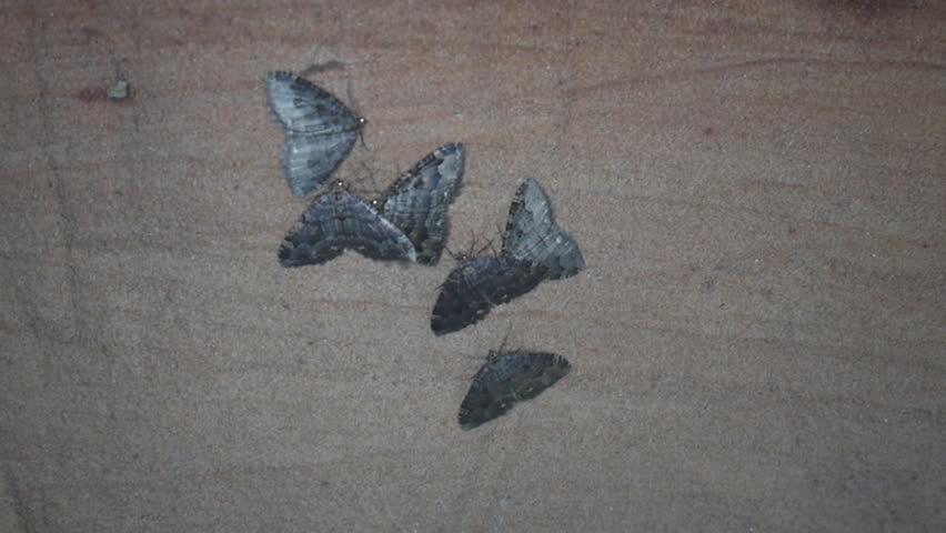 Header of Geometridae