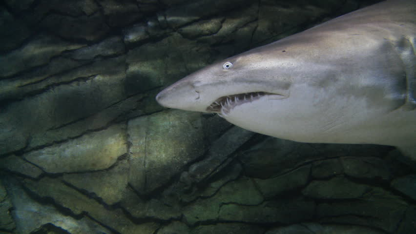 A Great White Shark Pes Camera Sharks Feared As Cold Unflinching Predators And