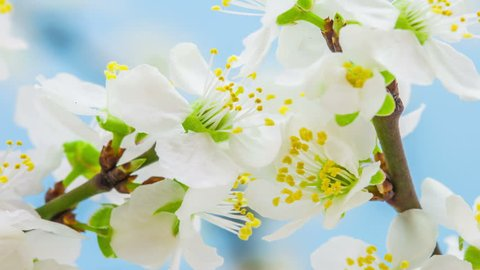 4k 30 fps macro timelapse video of a wild plum flower growing and blossoming on a blue background/Wild plum flower blooming macro time lapse