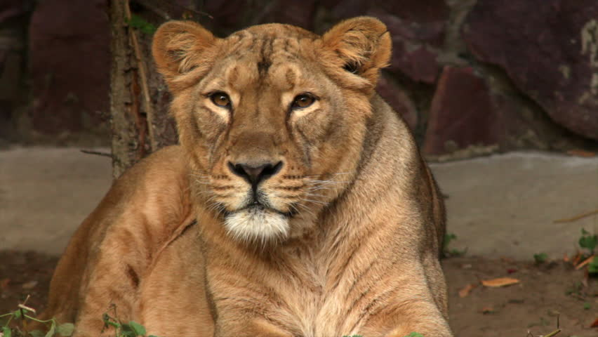 8k Animal Wallpaper Download: Close Up Of Big Furry Tired Sleepy Male Lion King Of