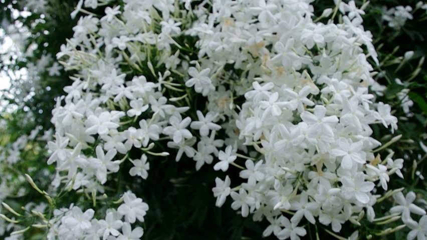 Jasmine Flowers Beautiful Jasmin Flowers In Bloom Stock Footage