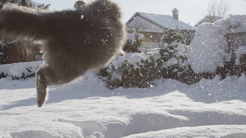 SLOW MOTION: Playful cat catching a snowball in snowy suburban garden. Happy pussy cat playing outdoors on a sunny winter day.