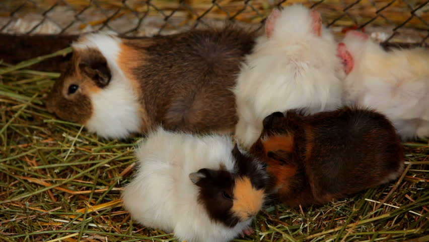 Several guinea pigs. A few cute guinea pigs huddled close to each other. Two frame. Close-up.
