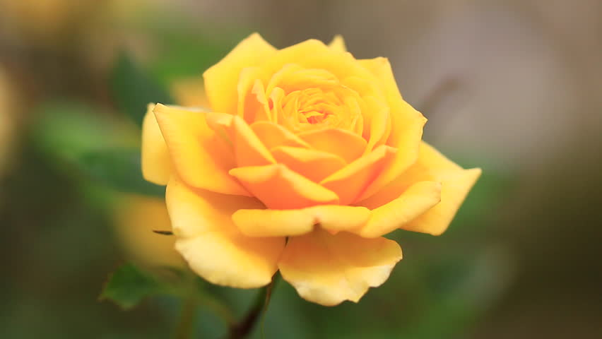 Beautiful yellow roses in the garden summer season stock - Yellow rose images hd ...