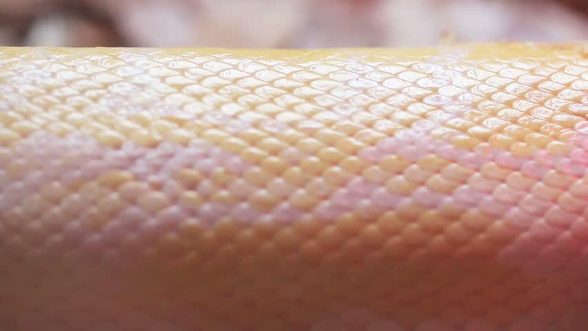 Close up Golden Thai Python (Python bivittatus) snake skin.
