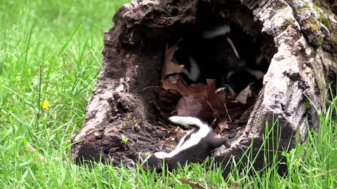 Mother skunk drags kit from outside a log into safety