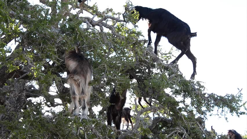 A flock of goats in an argan tree eating the argan nuts in morocco.