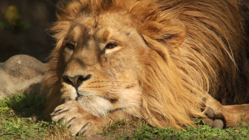 Play of subtle branch shadow on face of adorable lion close up, dreaming on sunny background. King of beasts, horoscope and zodiac symbol. Amazing beauty of wildlife in excellent HD footage. #8764912