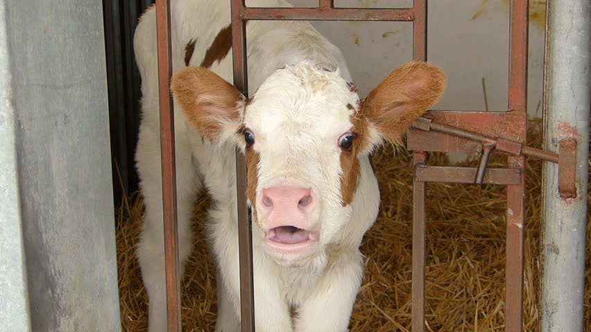 Calf mooing loudly in a cowshed
