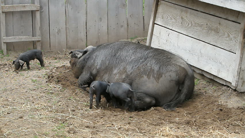 Young pigs waiting to eating on the mother sow.  The piglets are fighting over her nipples for nourishment and food.