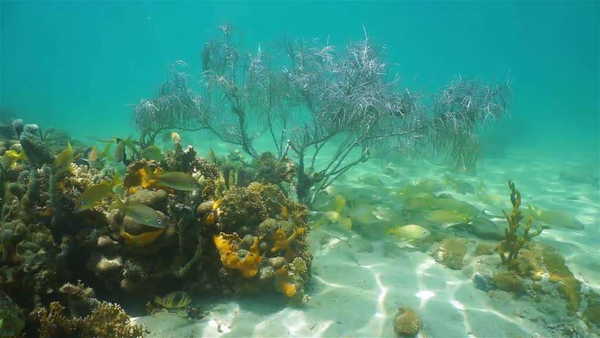 Sea Bottom Of The Sea Fish Seabed Sea: Underwater Life, Shoal Of Grunt Fish Under A Gorgonian Sea