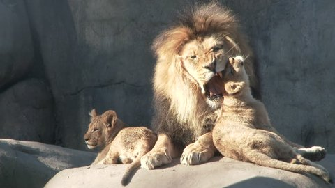 Adult male lion shows his love to his two little cubs, captured in 4K.