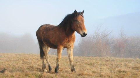 Young wild horse at misty field looking at camera and leaving the scene in the end.