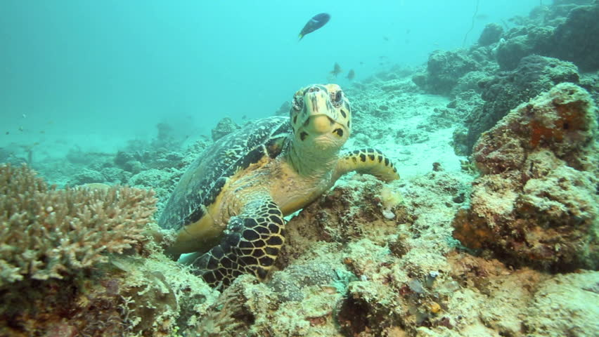 Hawksbill sea turtle feeding on coral reef at Mabul Island, Borneo #9104672
