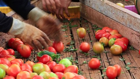 Freshly harvested tomatoes in worker's hands. Food industry. Agricultural production. Ripe tomato. 1920x1080