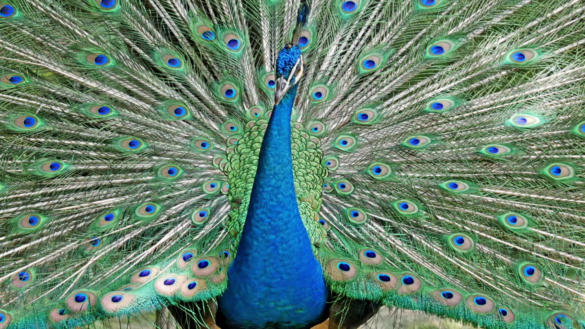 Male Indian Blue Peafowl displaying