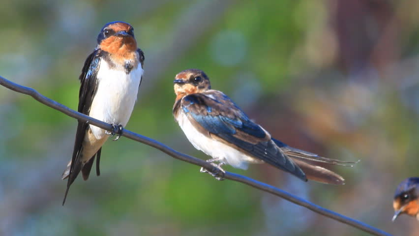 Barn Swallow definition/meaning