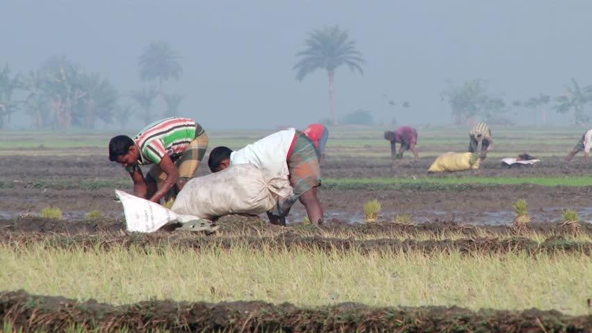 rice marketing scenario in bangladesh Automatic rice milling in bangladesh, rice production industry of bangladesh.