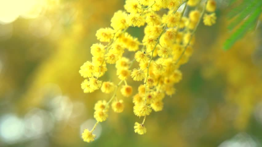 Mimosa Mimosa Spring Flowers Easter Stockvideos Filmmaterial 100
