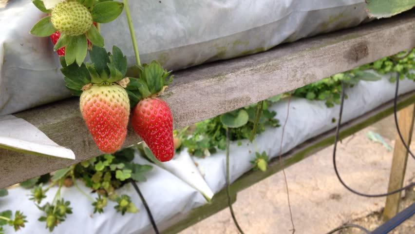 Strawberries at the farm at Cameron Highland, Pahang, Malaysia... | Shutterstock HD Video #9320372