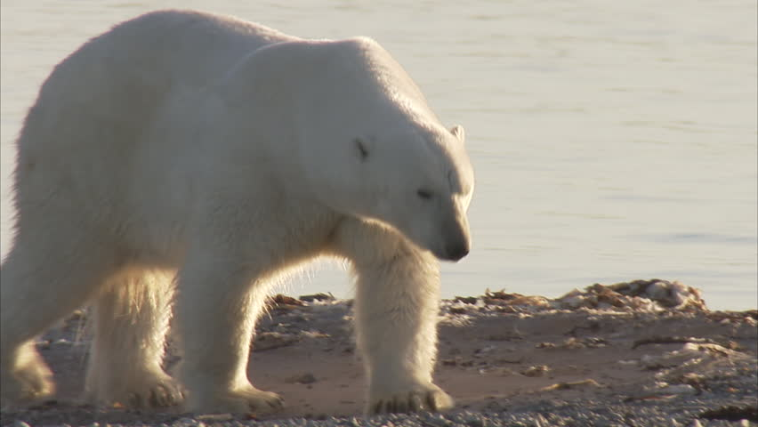 Polar bear walking on beach, Manning Island, Nunavut, Canada | Shutterstock HD Video #9320822