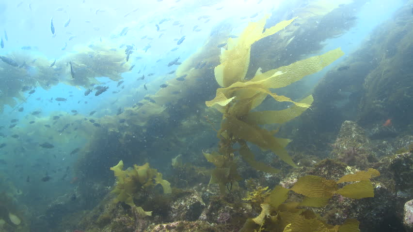 Kelp forest scenic with lots of fish | Shutterstock HD Video #9324512