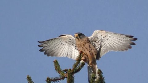Kestrel, falco tinnunculus, landing on tree branch with wings spread and blue sky background