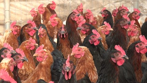 Black six link and red six link chickens housed in a large chicken coup on a farm in Midwest United States.